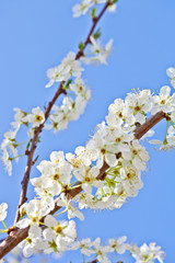 cherry blossom with white flowers