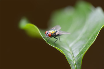 Large fly on a green leaf