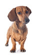 canvas print picture - dachshund dog