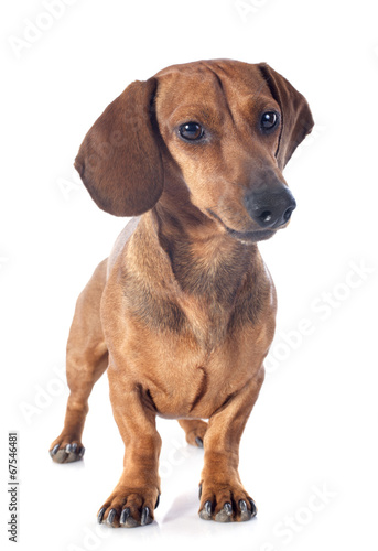 canvas print picture dachshund dog