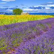 canvas print picture - Lavender and sunflower field