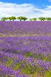Lavender field with cloudy sky