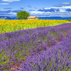 Lavender and sunflower field