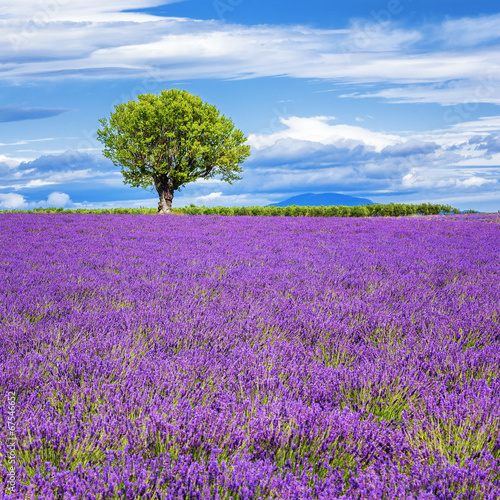 Fototapeta Lavender field with tree