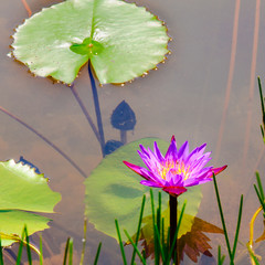 Purple water lily and lotus leaves on water