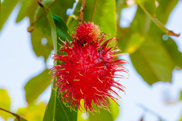 Close-up shot of a Rambutan tropical fruit in the tree