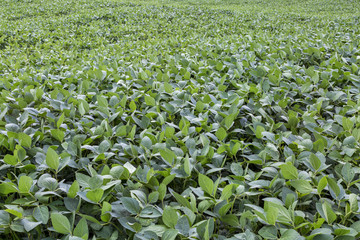 green soybean field