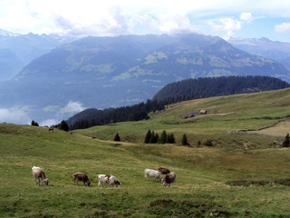 Cows on  Gonzen mountain of the Appenzell Alps
