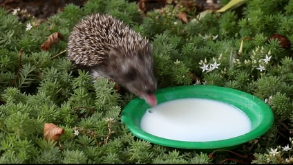 the hedgehog drinks milk from a plate in the wood