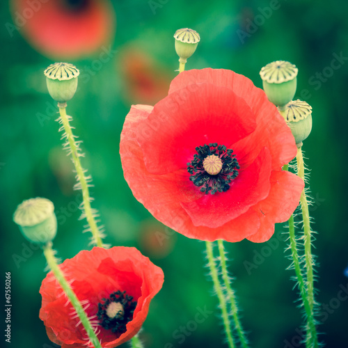 Poppies. Imitation cross-process. Retro style. Vignetting.