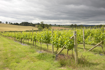 Vines and Vineyard near Topsham Devon England UK