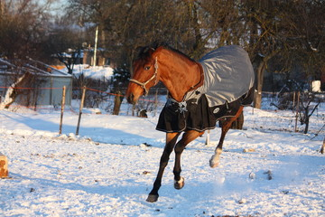 Brown horse in coat running