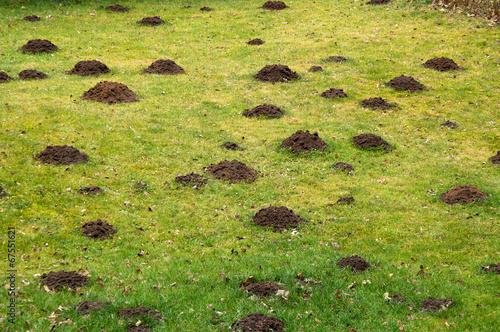 Leinwandbild Motiv Lawn destroyed by mole, garden