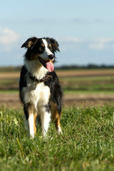 Border Collie im Feld