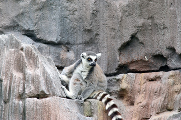 Lemur on rocks