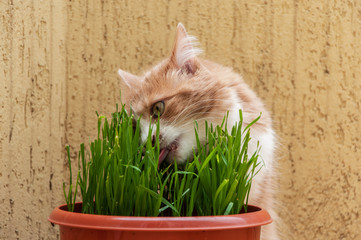 Cat is eating a grass