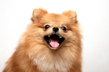 щенок-шпиц ,the puppy