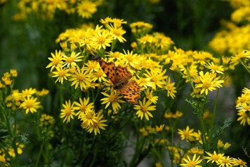 multicolor butterfly on yellow flowers