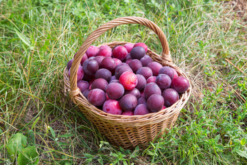 basket of red plum on green grass