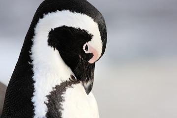 pinguino uccello marino sudafrica