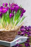 Krokusse, Blumenschmuck im Frühling