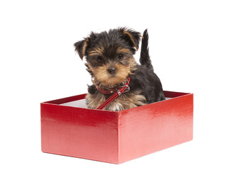 Yorkshire Terrier puppy in red gift box