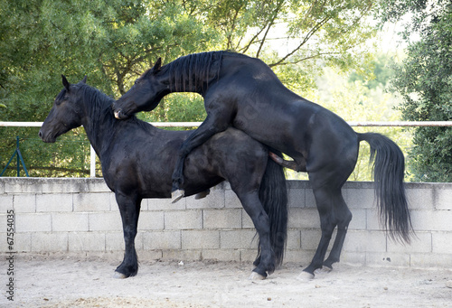 canvas print picture horse mating