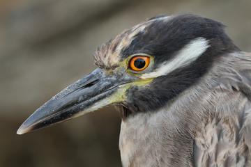 Galapagos heron in Floreana island
