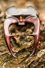 Stag beetle ( Lucanus cervus) horn