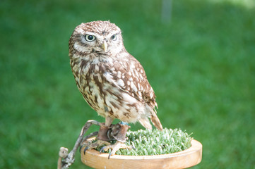Little captive owl