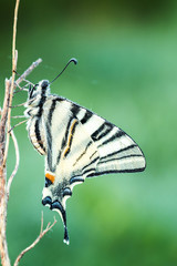 Beautiful swallowtail (Papilio machaon )