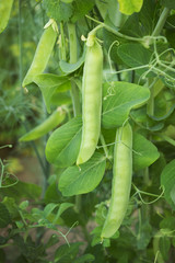 Green pea plants growing in a garden