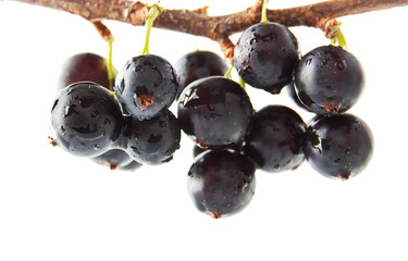 The blackcurrant on the branch