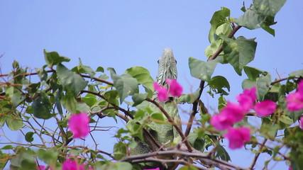 iguana 04