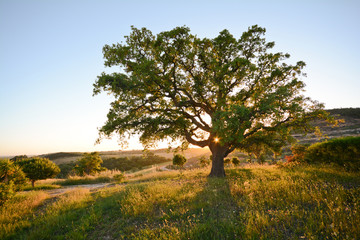 Cork oak tree (Quercus suber) in evening sun, Alentejo Portugal