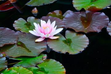Blühende Seerose im dunkeln Teich