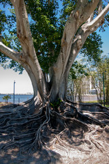 Banyan Tree on the Caloosahatchee River