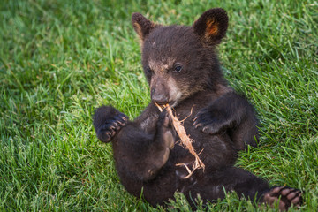 cute black bear cub