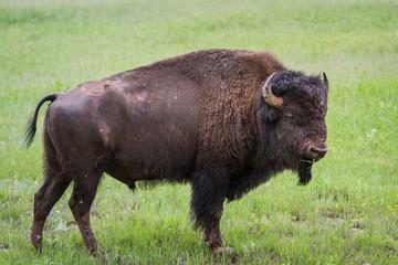 american bufalo