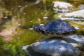 turtle balancing on a rock