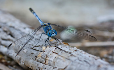 blue dragonfly (Coenagrionidae) standing on a stick