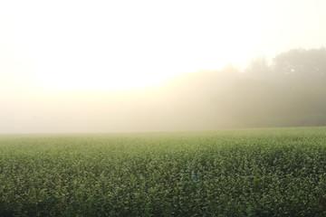 江丹別町朝靄朝露の蕎麦畑