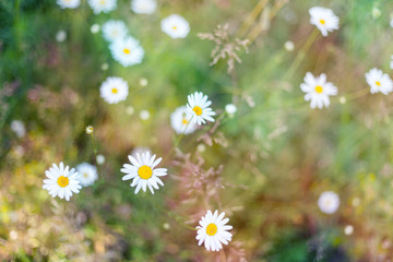 blurred natural background, daisies in a field