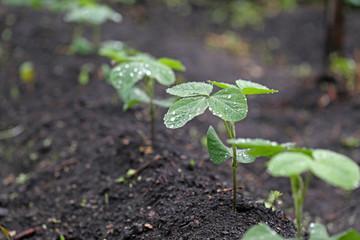 雨の日の大豆の苗