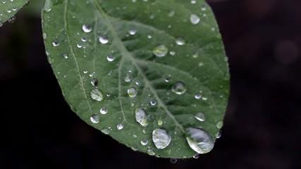 大豆の葉に降る雨と滴