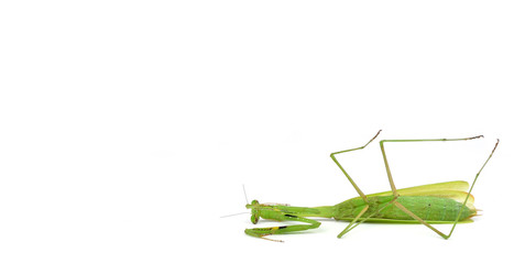 dead Green mantis isolated on a white background