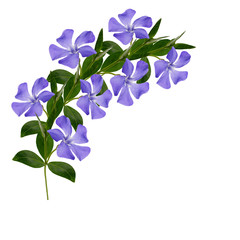Periwinkle flowers line on white background