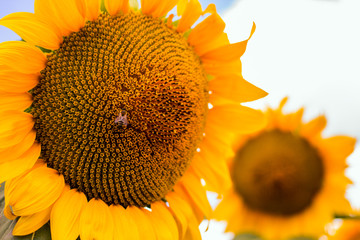 Honey-Bee on sunflower