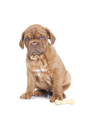 French Mastiff puppy with dog bone