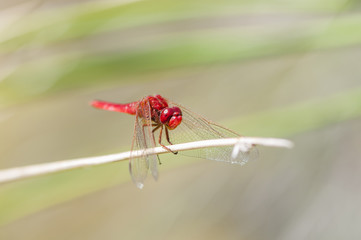 Color red dragonfly